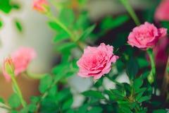 Rozen in de gefiltreerde tuin Royalty-vrije Stock Foto's