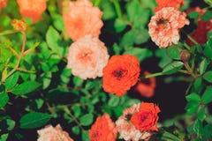 Rozen in de gefiltreerde tuin Stock Afbeelding