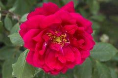 Rozen, de rozen van het liefdesymbool, rode rozen voor minnaarsdag, natuurlijke rozen in de tuin Stock Afbeeldingen