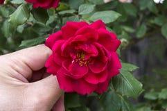 Rozen, de rozen van het liefdesymbool, rode rozen voor minnaarsdag, natuurlijke rozen in de tuin Stock Fotografie