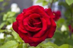 Rozen, de rozen van het liefdesymbool, rode rozen voor minnaarsdag, natuurlijke rozen in de tuin Stock Foto's