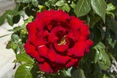 Rozen, de rozen van het liefdesymbool, rode rozen voor minnaarsdag, natuurlijke rozen in de tuin Royalty-vrije Stock Foto