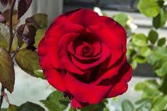 Rozen, de rozen van het liefdesymbool, rode rozen voor minnaarsdag, natuurlijke rozen in de tuin Royalty-vrije Stock Afbeeldingen