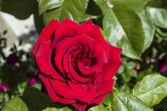 Rozen, de rozen van het liefdesymbool, rode rozen voor minnaarsdag, natuurlijke rozen in de tuin, Rozen, rozen voor de dag van li Royalty-vrije Stock Foto
