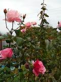 Rozen in de tuin Royalty-vrije Stock Foto's