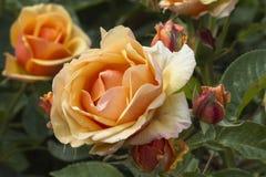 Rozen in de tuin royalty-vrije stock foto