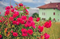 Rozen in de tuin Royalty-vrije Stock Fotografie