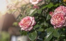 Rozen in de tuin in zonlicht royalty-vrije stock fotografie
