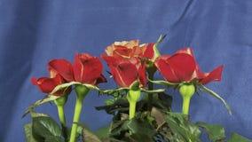 Rozen die bloeien stock footage