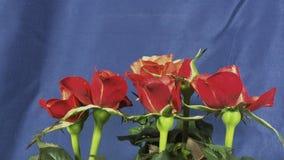 Rozen die bloeien stock video