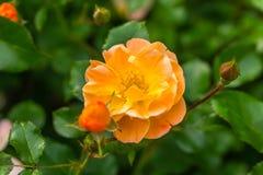 Rozen die in de de Lentetijd bloeien Royalty-vrije Stock Foto's