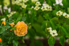 Rozen die in de de Lentetijd bloeien Royalty-vrije Stock Afbeeldingen