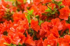 Rozen die in de de Lentetijd bloeien Stock Fotografie