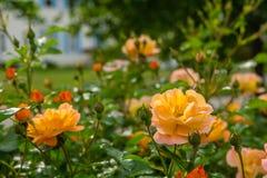 Rozen die in de de Lentetijd bloeien Stock Foto's