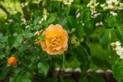 Rozen die in de de Lentetijd bloeien Royalty-vrije Stock Afbeelding