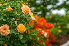 Rozen die in de de Lentetijd bloeien Royalty-vrije Stock Foto