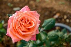 Rozen die in de tuin bloeien royalty-vrije stock fotografie