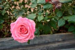 Rozen die in de tuin bloeien royalty-vrije stock afbeeldingen