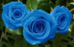 Rozen drie blauw stock foto