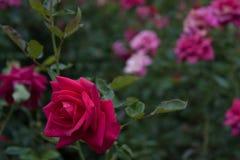 Rozen en bloemen royalty-vrije stock fotografie