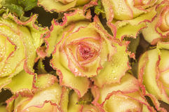 Rozen met gele dauw - Royalty-vrije Stock Foto's