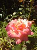 Rozen met kleurrijke bloem Stock Afbeelding