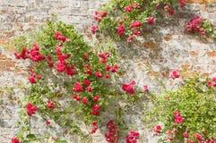 Rozen op een oude muur Stock Afbeelding