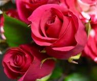 2 rozen rode bloemen Royalty-vrije Stock Foto