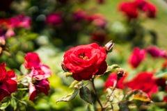 Rozen in Rose Gardens royalty-vrije stock fotografie