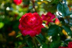 Rozen in Rose Gardens royalty-vrije stock afbeelding