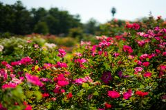 Rozen in Rose Gardens stock foto's