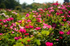 Rozen in Rose Gardens royalty-vrije stock afbeeldingen