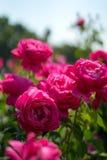Rozen in Rose Gardens stock afbeelding