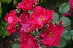 Rozen in tuin Stock Afbeeldingen