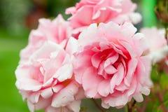 Rozen in tuin Royalty-vrije Stock Foto