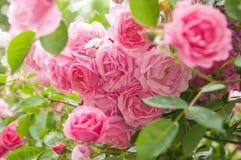 Rozen in tuin royalty-vrije stock afbeelding