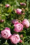 Rozen in tuin Royalty-vrije Stock Foto's