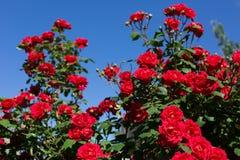 Rozen in tuin Royalty-vrije Stock Fotografie