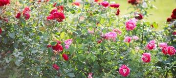 Rozen in tuin of park op bed van bloemen, banner voor website met het tuinieren concept stock foto