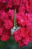 Rozen van de tuin Royalty-vrije Stock Fotografie
