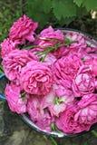 Rozen van de tuin Royalty-vrije Stock Afbeelding