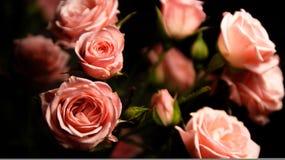 Rozen - zwarte en roze Royalty-vrije Stock Foto