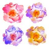 Rozenbloemen Reeks van vectorillustratie Stock Foto
