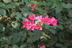 Rozerode bloemen Royalty-vrije Stock Fotografie