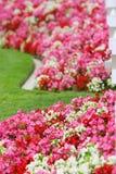 Rozerode en witte bloemen royalty-vrije stock fotografie