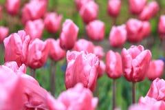 Rozerode tulpen op een gebied Stock Foto