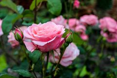 Rozes pink royalty free stock photo