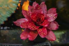 Rozet van rode Agave, yucca Tropische decorativinstallatie, succulente, Selectieve nadruk Natuurlijk patroon, exotische botanisch stock afbeelding