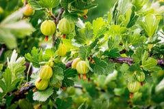 Rozgałęzia się z zielonymi jagodami agresty podczas maturation_ zdjęcie royalty free