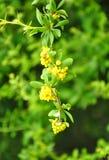 Rozgałęźnika berberys pospolity (Berberis aggregata) zdjęcie royalty free